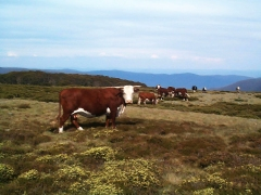 Cattle grazing near Cope hut