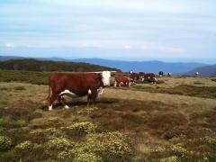 Cattle grazing near Cope hut