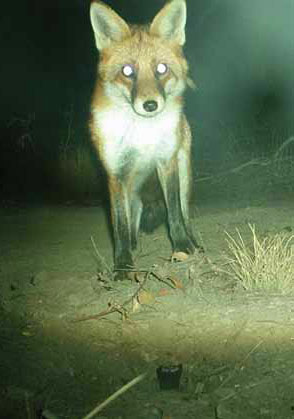 The ejector is up to 93% effective in controlling foxes, one of the two target pest species.