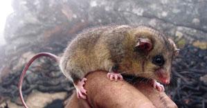 Mountain Pygmy Possum. Photo: Glen Johnson.